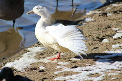 White  Duck wing spread Royalty Free Stock Photography