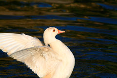 White duck wings outstretched Stock Image