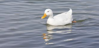 White duck with yellow bill swimming on water with reflection. White duck with yellow bill swimming on the water with reflection Stock Photo