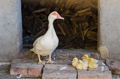 White duck with yellow ducklings. On a farm stock photos