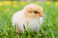 White Duckling on Grass Stock Images