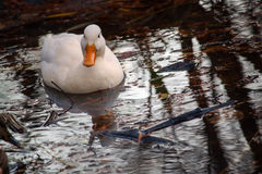 White Ducklings Day. The white duck swimming in the pond. Photography of wildlife Stock Photo