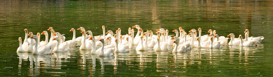 White ducks. Swimming in group royalty free stock images