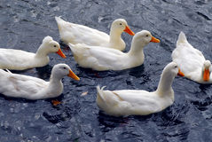 White ducks Stock Photo