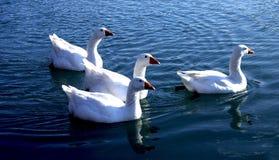 White Ducks stock photos