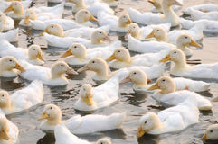 The white ducks Royalty Free Stock Images