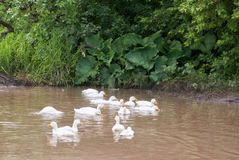 White ducks in a big puddle in a village street Royalty Free Stock Photo