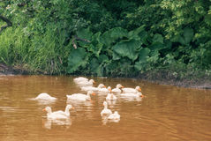 White ducks in a big puddle in a village street Stock Image