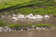 White ducks in a big puddle in a village street Royalty Free Stock Photography