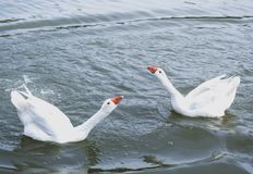 White ducks courting each other in the lake water. On a spring afternoon royalty free stock photography