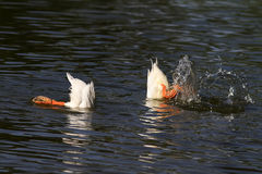 White ducks dived into the water with a splash Stock Images