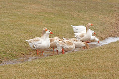 White ducks drinking runoff water Royalty Free Stock Images