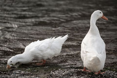 White ducks Royalty Free Stock Images
