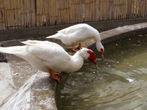 White ducks on a farm Stock Photos