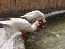 White ducks on a farm Stock Photos