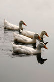 White Ducks in Formation Royalty Free Stock Photography