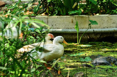 White ducks Stock Images