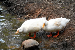 White Ducks Royalty Free Stock Photography
