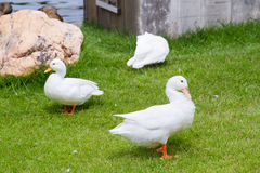 White ducks on the green grass field.  Royalty Free Stock Photo