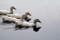 White Ducks In Formation Royalty Free Stock Images