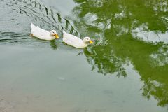 Free White Ducks In Water. Stock Photography - 135425652
