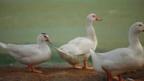 White ducks with orange beaks stock video