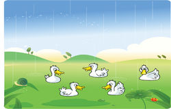 White ducks playing in the rain with background. Illustration Stock Photos