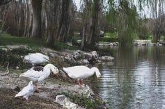 White ducks preparing to bathe stock image