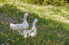 White ducks in springtime Royalty Free Stock Photos