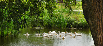 White ducks swim in the pond. A flock of white domestic ducks swim in the pond in summer under the green tree Royalty Free Stock Photos