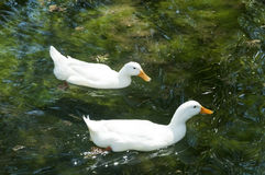 White ducks are swiming. In a calm lake Royalty Free Stock Photo