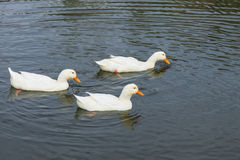 White ducks swimming in pond Stock Images