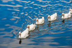 White ducks swimming in the pond. Together Royalty Free Stock Photos