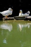 White ducks taking sunbath Stock Photos