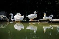 White ducks taking sunbath Royalty Free Stock Photography