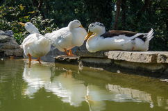 White ducks taking sunbath Royalty Free Stock Image