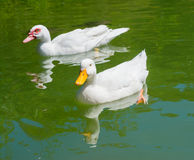 White ducks Stock Image