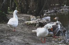 White ducks walking on the shore of the lake stock images