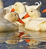 White ducks in water with reflection Stock Photos