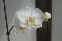 White duet. Tender duet of snow orchids Royalty Free Stock Photos