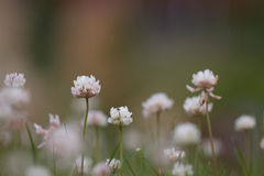 White or Dutch clover. Closeup outdoors Royalty Free Stock Images