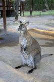 White dwarf kangaroo. In the zoo Stock Photo