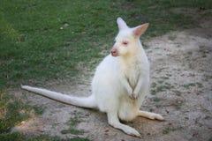 White dwarf kangaroo Royalty Free Stock Image