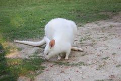 White dwarf kangaroo Royalty Free Stock Photo