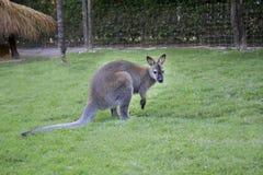 White dwarf kangaroo Royalty Free Stock Images
