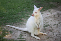 White dwarf kangaroo Stock Image