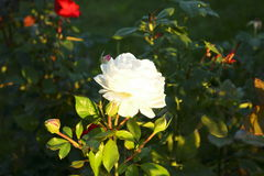 White dying rose on rosebush in autumn time Royalty Free Stock Photography