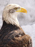 White eagle. In winter Royalty Free Stock Photography