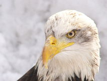 White eagle. American white eagle, winter Royalty Free Stock Images