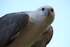 White Eagle. A white and grey eagle outdoors close up Stock Image